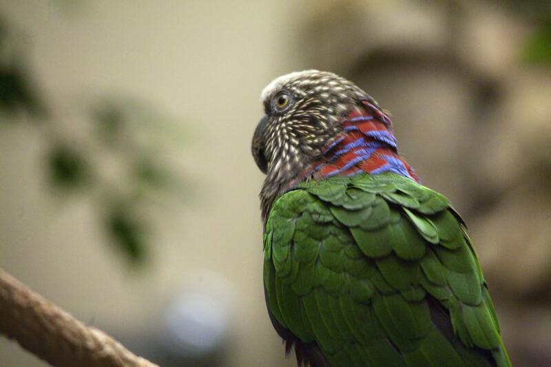 Red Fan Parrot