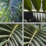 Red Feather Palms photographs