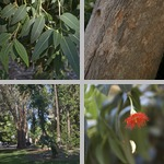 Red Flowering Gum Trees photographs