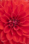 Red Hybrid Dahlia Flower Center