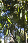 Red Ironbark Branches and Leaves