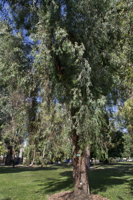 Red Ironbark Tree at Capitol Park in Sacramento