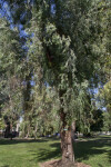 Red Ironbark Tree at Capitol Park in Sacramento