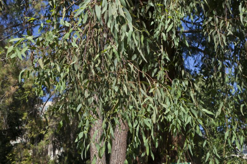 Red Ironbark Tree Branches