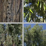 Red Ironbark Trees photographs