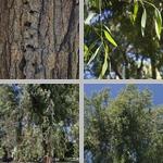 Red Ironbark Trees photographs