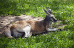 Red Kangaroo in Grass