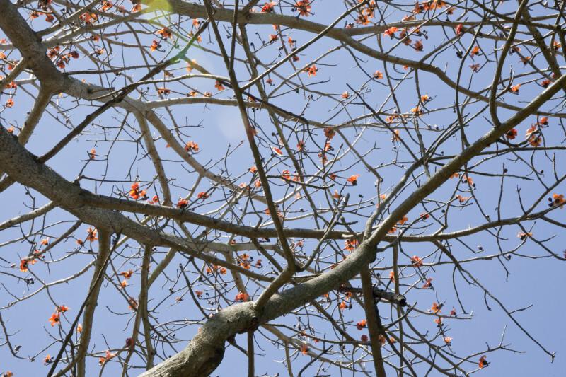 Red Kapok Tree