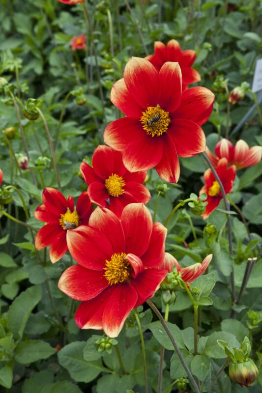 "Red ""Korona"" Dahlia Flowers"