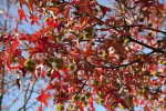 Red Leaves and Thorny, Yellow Flowers Extending from American Sweetgum Branches
