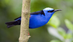 Red-Legged Honeycreeper at Butterfly World
