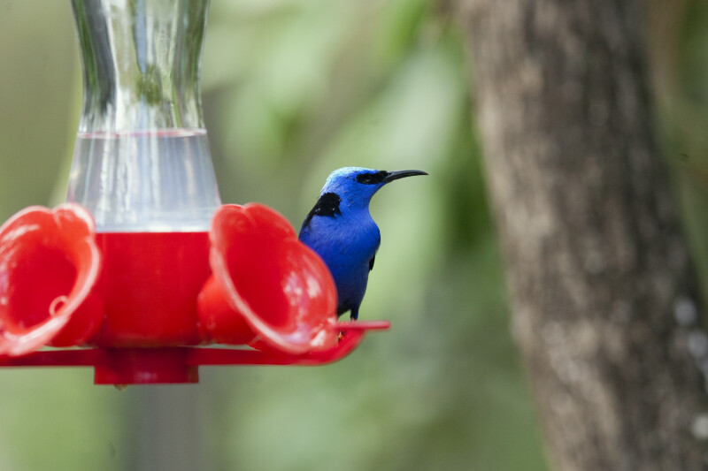 Red-Legged Honeycreeper at Feeder