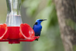 Red-Legged Honeycreeper Looking Right