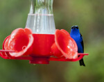 Red-Legged Honeycreeper on Feeder