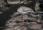 Red-Legged Seriema Foraging
