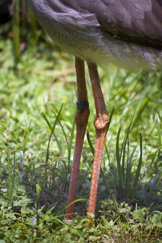 Red-Legged Seriema Legs