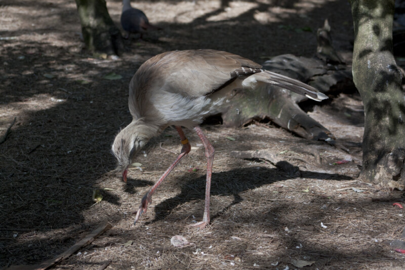 Red-Legged Seriema Looking for Food