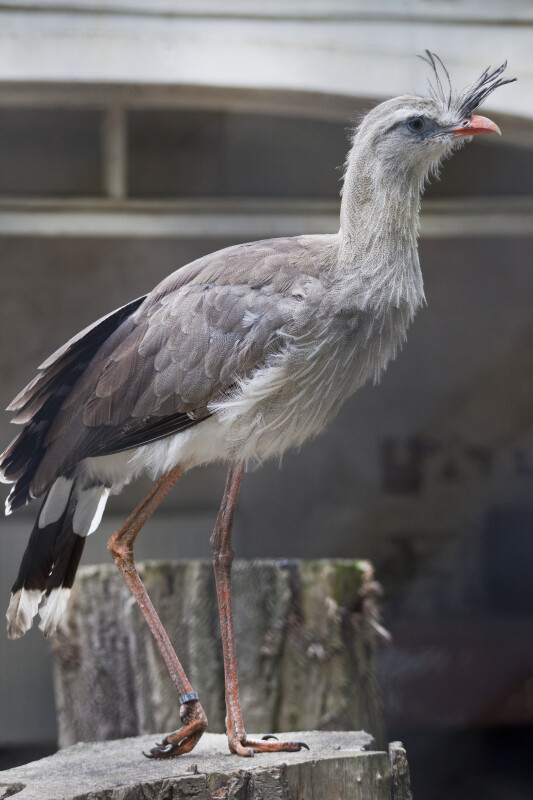 Red-Legged Seriema Side View