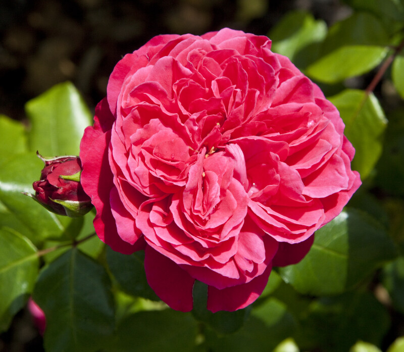 """Red Leonardo Da Vinci"" Rose"