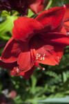 Red Lion Flower