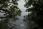 Red Mangrove Branches and Leaves Above Water at the Florida Campgrounds of Everglades National Park