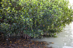 Red Mangrove Growing in Cloudy Water at the Florida Campgrounds of Everglades National Park
