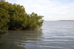 Red Mangrove Growing in Water at the Florida Campgrounds of Everglades National Park