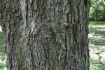 Red Maple Bark