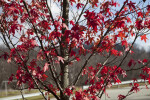 Red Maple Branches and Leaves