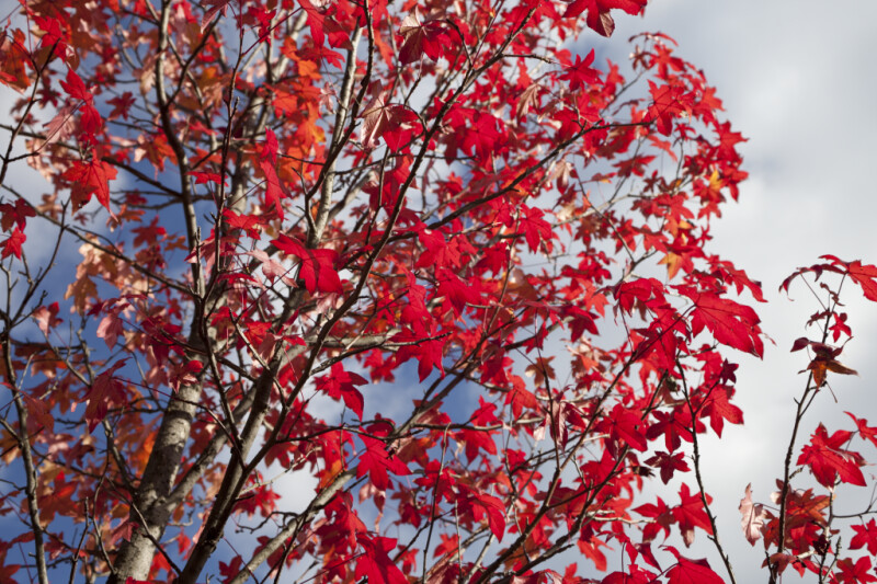 Red Maple During Fall