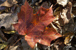 Red Maple Leaf at Evergreen Park