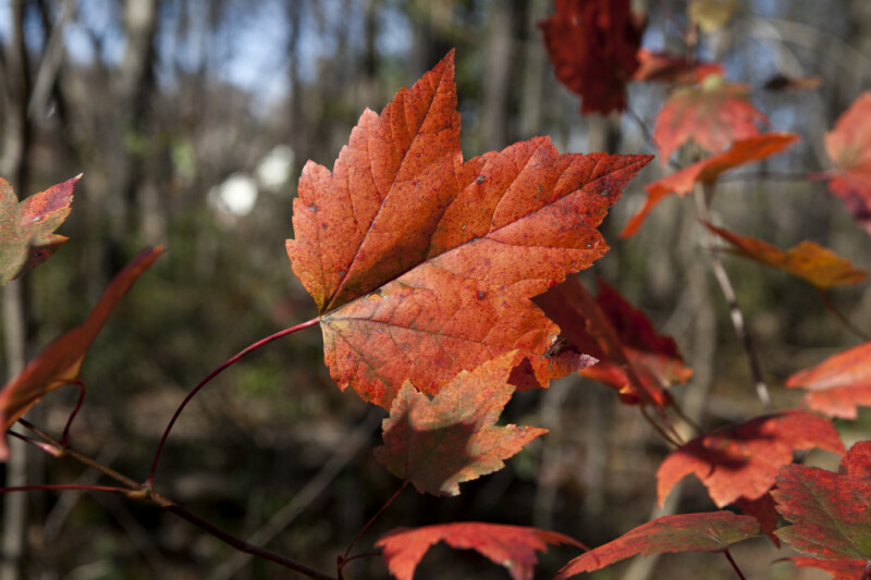 Red Maple Leaf with Red Petiole