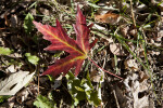 Red Maple Leaf with Yellow Lines