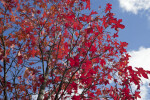 Red Maple Leaves and Branches