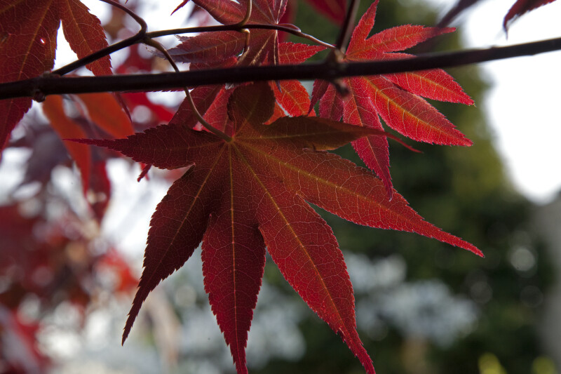Red Maple Leaves of Various Sizes