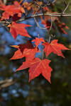 Red Maple Leaves with Yellow Veins