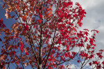Red Maple Pictured Against Cloudy Sky