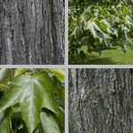 Red Maple Trees photographs