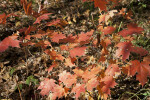 Red Maples Leaves at Evergreen Park