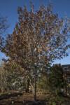 Red Oak Tree at the San Antonio Botanical Garden
