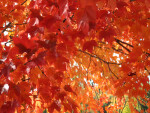 Red-Orange Autumn Leaves