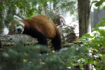 Red Panda Lying on a Log