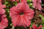 Red Petunia Flower