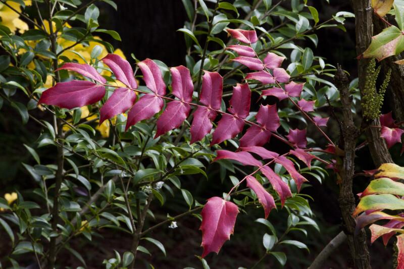 "Red Pinnate Leaves of ""Arthur Menzies"" Mahonia"