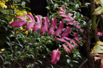 "Red Pinnate Leaves of ""Arthur Menzies"" Mahonia"