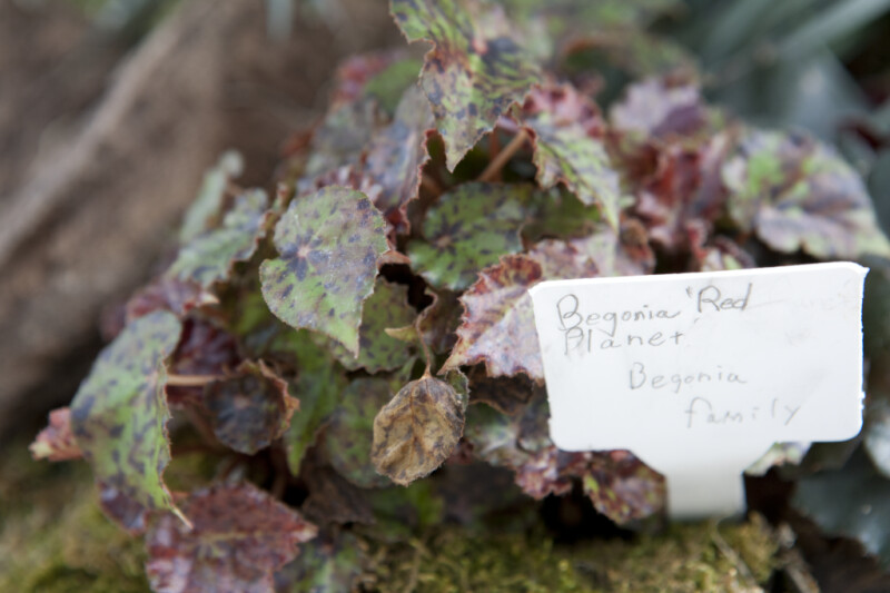 Red Planet Begonia