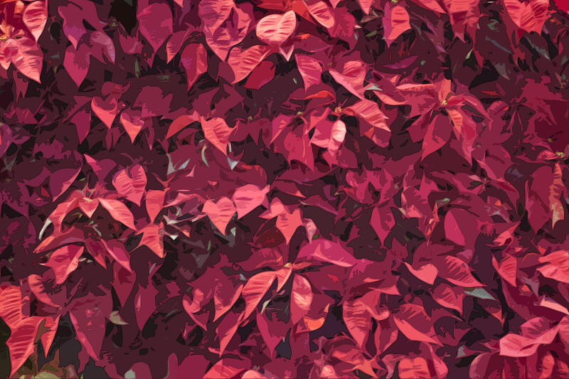 Red Poinsettia Display, Posterized