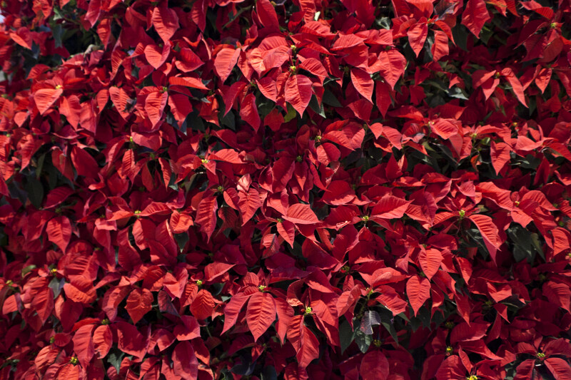 Red Poinsettia Display