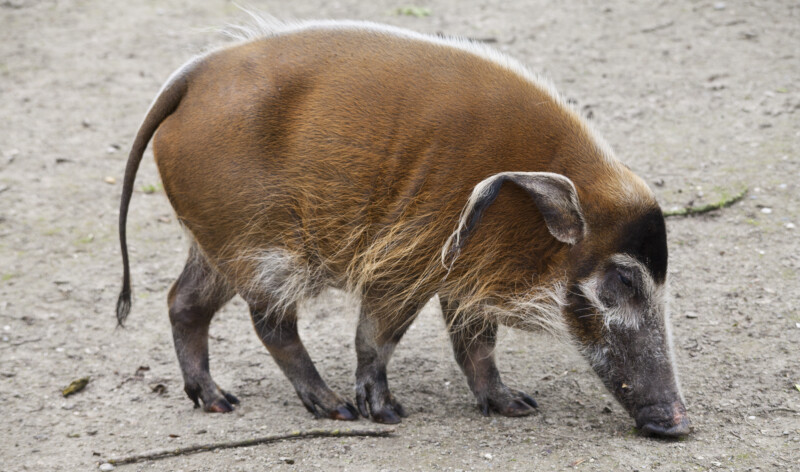 Red River Hog (Potamocherous porcus pictus)
