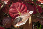 Red, Rounded Sea Grape Leaves